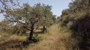 A meadow with olive trees and a wall on the right side.